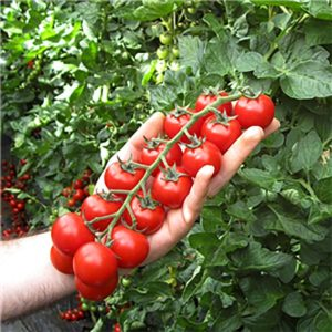 pomodoro tomato plant